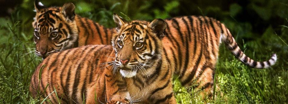 Zoo Tigers